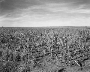 A black-and-white photograph of a cornfield. Dirt and corn stalks make up the bottom two-thirds of the picture while a sky with wispy clouds sky makes up the rest.